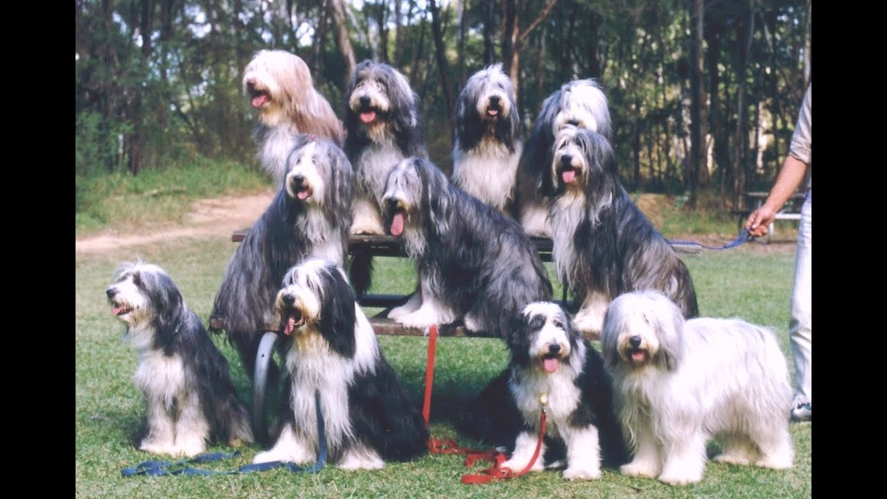 Bearded Collie Dog Breed Details Of Bearded Collie Dog
