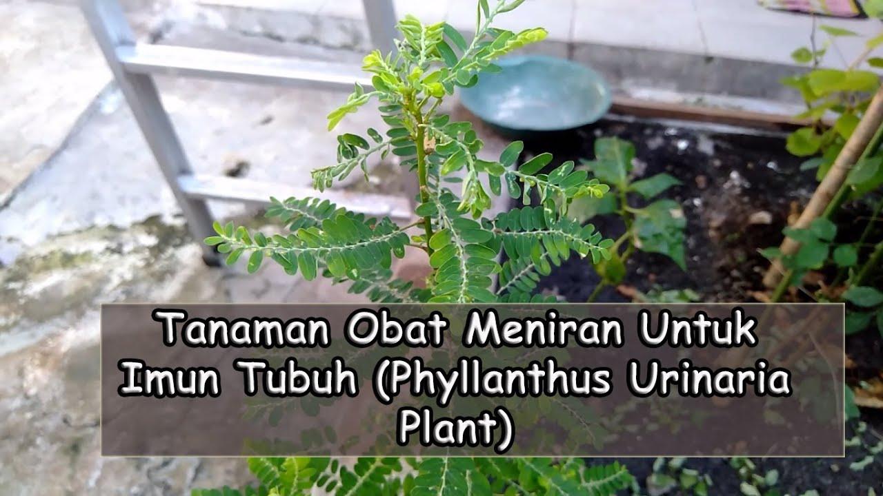 Tanaman Obat Meniran Untuk Imun Tubuh Phyllanthus Urinaria Plant Youtube