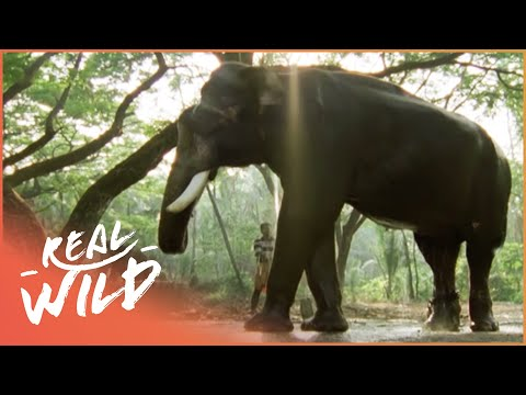 The Dark Side Of Elephants [Full Documentary] | Wild Things