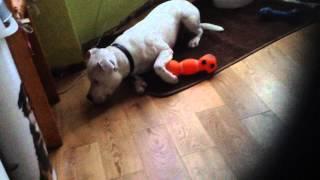 Diesel My Staffordshire Bull Terrier