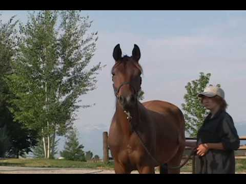 SOLD - Henry Knox - 2007 Gelding by Windfall *Pg* out of Herbstaster *Pb* by Target