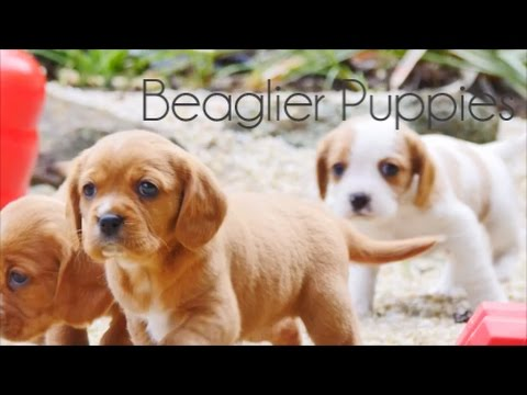 Beaglier Puppies playing around