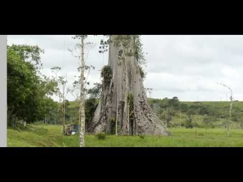 El arbol mas grande de Latino america Video captura foto Cei