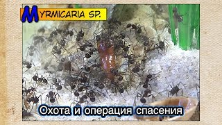 Охота и операция спасения ● Myrmicaria sp.