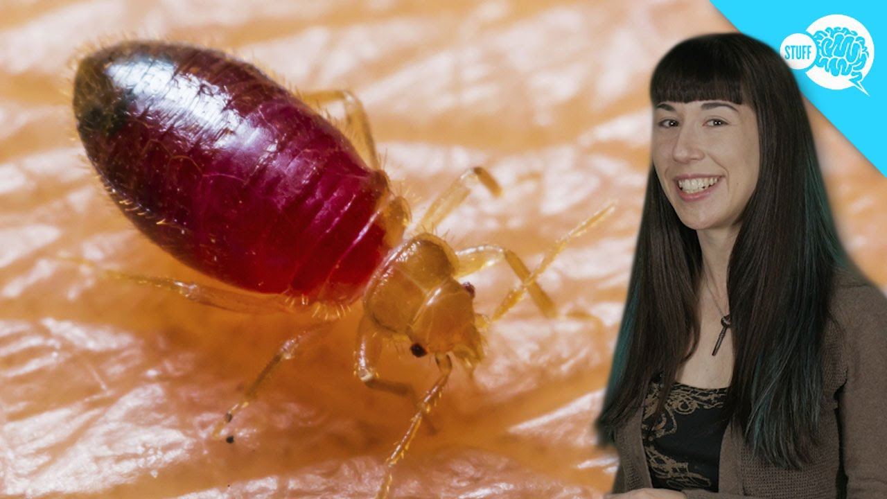 How Do Bed Bugs Work?