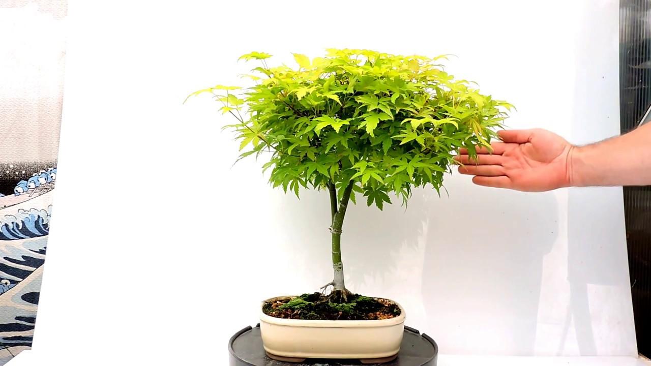 Vídeo 360º Bonsai Acer Palmatum Orange Dream Ref Acp127od Youtube
