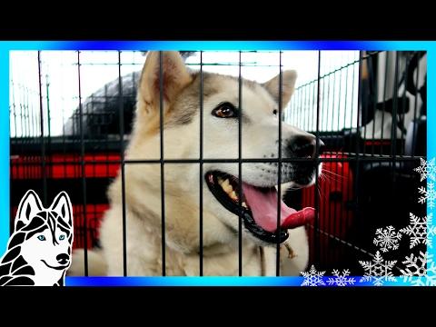 MEET KAYA | HELP US HELP HUSKIES | Dog Rescue