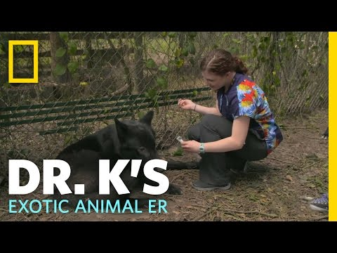 Eye of the Wolf | Dr. K's Exotic Animal ER