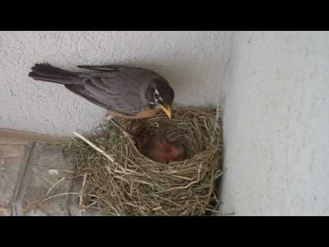 Robin Bird Nest Eggs Hatched and Baby Starlings On Front Porch Father Visits and Feeds.wmv