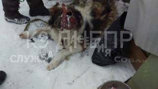 Спасение собаки. Московская сторожевая провалилась в погреб.