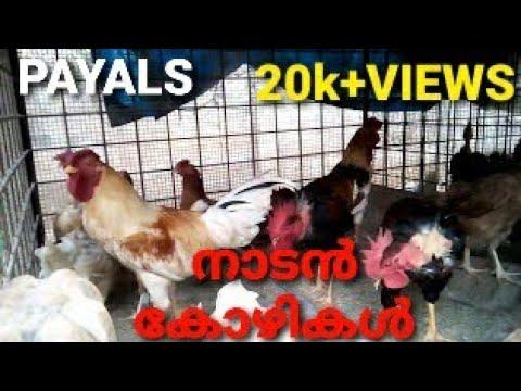 NADAN POOVAN KOZHI. MENACHERY PET'S FARM LALOOR THRISSUR KERALA. JOSE .9388554349 .PAUL .9544539090