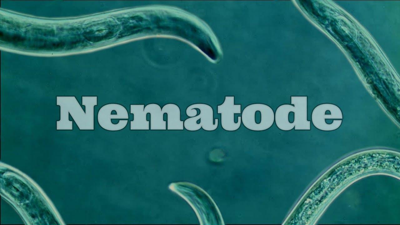 reproducerea nematodei)