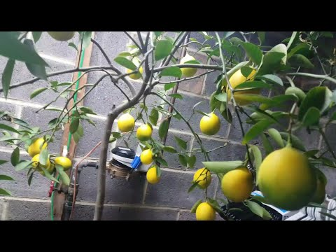 When Life Gives you Lemons.. Give Lemons Life