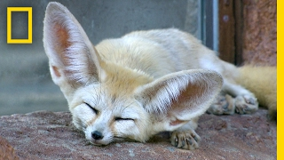 Fennec Foxes  Why Are Their Ears So Big? | National Geographic