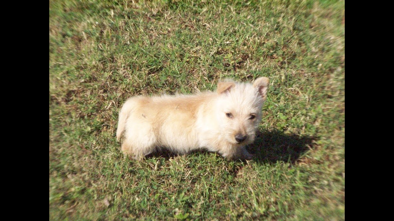 Scottish Terrier, Puppies, Dogs, For Sale, In Raleigh ...