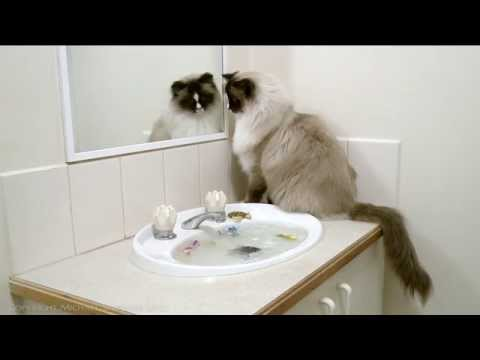 Ragdoll Cat vs. Zuru Robo Turtle & Robo fish - PoathTV Funny Cat Videos - PoathCats