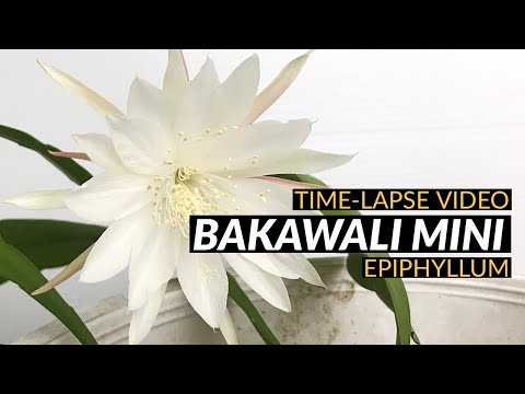 Video Time Lapse Bunga Bakawali Mini @ Epiphyllum