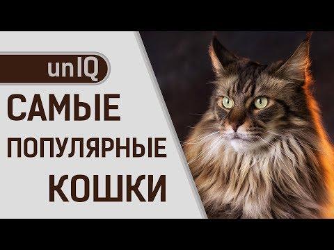 Рейтинг самых популярных пород кошек в мире