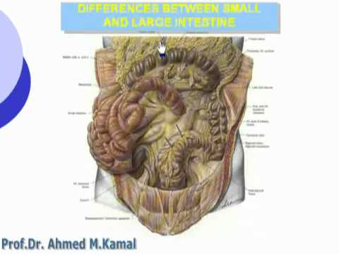 30- Differences between small and large intestine (Abdomen) - YouTube