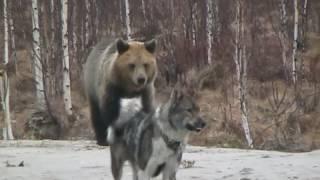 The bear and the dog   ( медведь и собака )