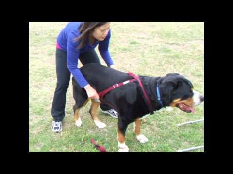 Carting and Freight/weight harness introduction - Greater Swiss Mountain Dog