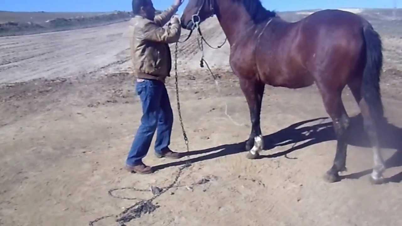 cheval arabe a vendre en algerie