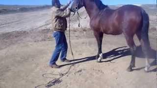 cheval barbe arabe a vendre