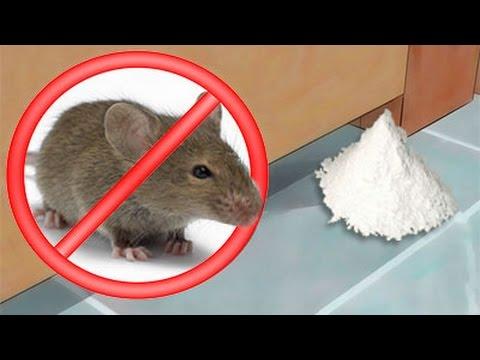 Como eliminar ratas y ratones de la casa para siempre de - Como eliminar ratas en casa ...