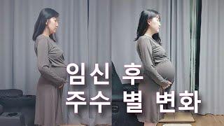 임신 22주부터 40주 출산 후 까지 배 크기 변화, …