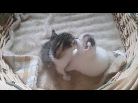 baby kittens playing with each other