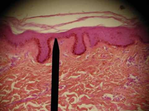 EPITHELIAL TISSUES HISTOLOGY ANATOMY Skin Intestine Professor Fink