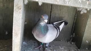 Gołębie pocztowe.Piszczki dojrzewają do pierwszego wyjścia na dach.Jesienna melancholia.#18