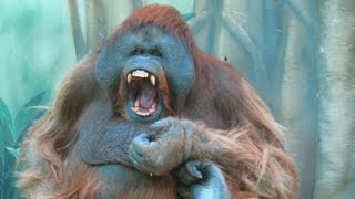 Орангутан папа - Как вы мне надоели...