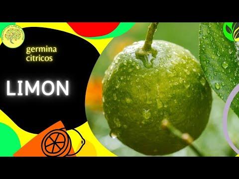 Preparar las semillas de limón para que germinen (Citrus limon)