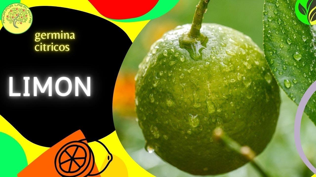 Preparar las semillas de lim n para que germinen citrus for Limonero sin limones