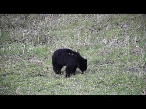 Black bear at yellowstone national park
