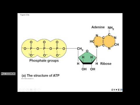FA 16 L11 Chemical Energy of Cells (enzyme kinetics)