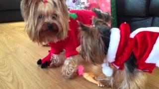 Yorkies Don't Share Christmas Gifts!