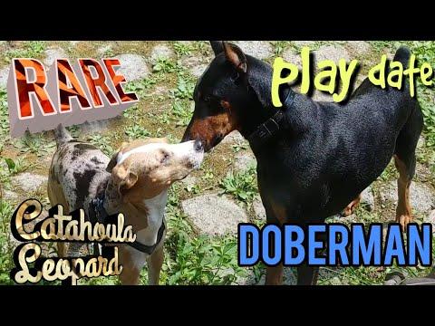 Doberman Pinscher Dog Play Date w Louisiana Catahoula Leopard Dog RARE Breed