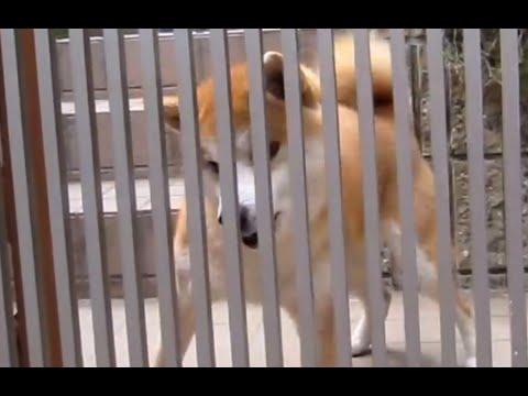 Hyper Shiba Inu Doggy! Cute