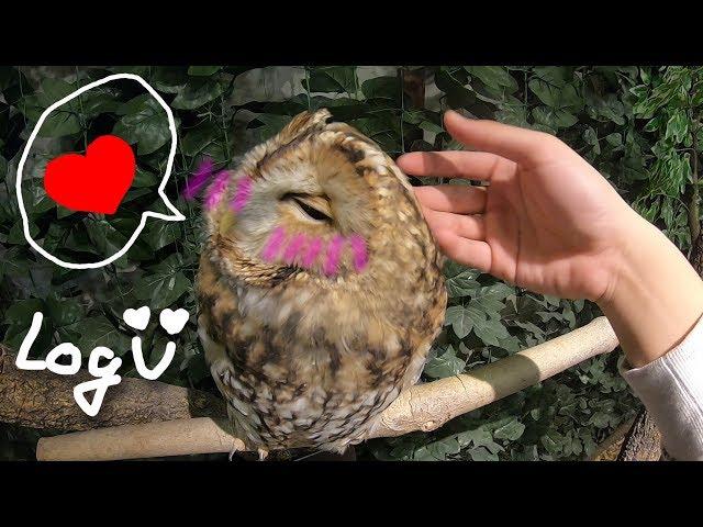 【RJ】超療癒貓頭鷹摸摸!日本貓頭鷹咖啡亂摸一把  日本行番外篇