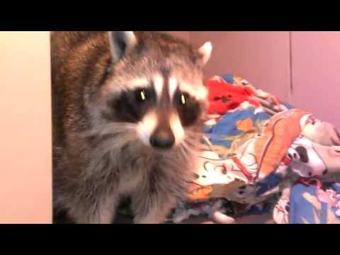 Clyde the Raccoon in his room.