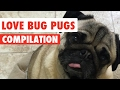 Love Bug Pugs Adorable Puppy Video Compilation 2017