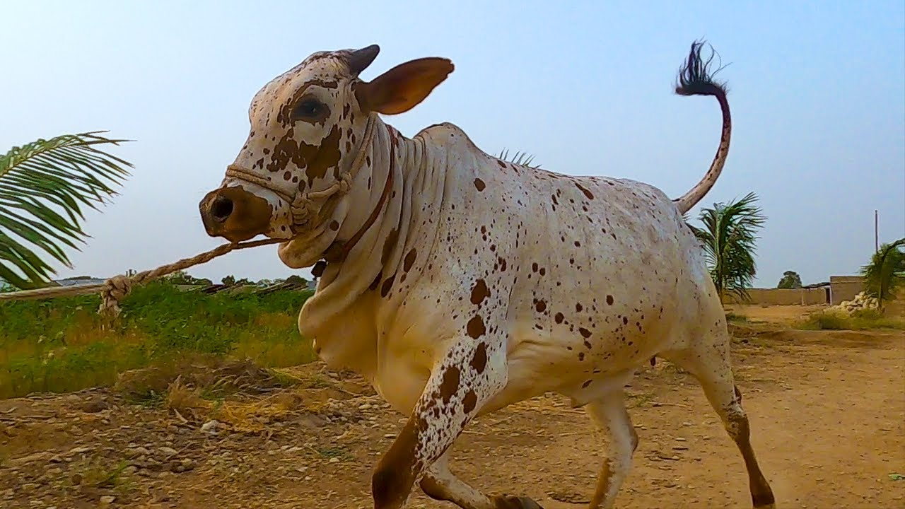 Cow RUNS AWAY During Filming Cinematic Video at Homestead Cattle Farm for Bakra Eid | Cattle Market