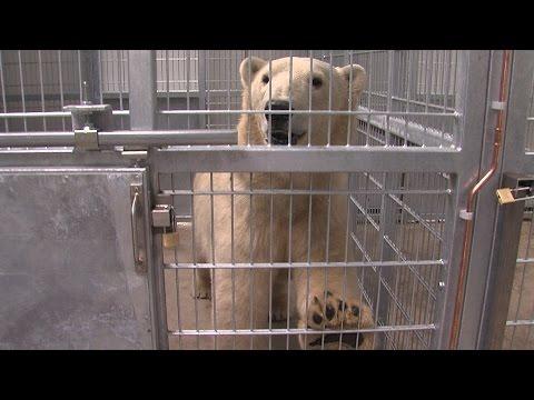 GPTV: Eerste ijsbeer Nanu went aan AquaZoo