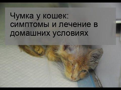 Вопрос: Каковы симптомы панлейкопении у кошек?
