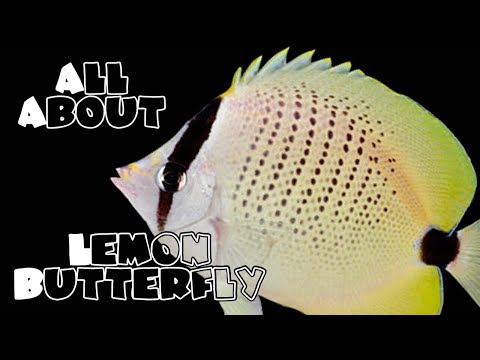 All About The Lemon Butterfly Fish