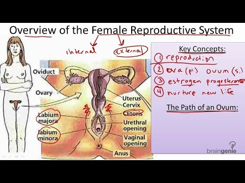 Female Reproductive System in Hindi