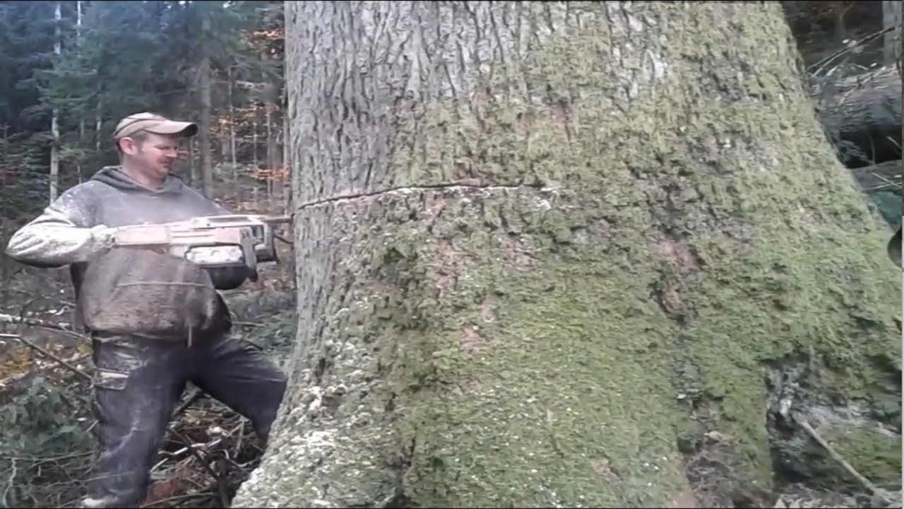Extreme Fastest Cutting Big Tree Chainsaw Machines, Professional High Skill Workers Felling Trees