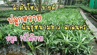 ปลูกหวาย พันธุ์หนามขาว สกลนคร ปลูกง่าย ลำต้นใหญ่ ปลูก1ปีได้ขาย ขายเบี้ยพันธุ์ต้นละ8บาท